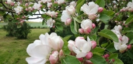 Apfelbluete auf Loekker